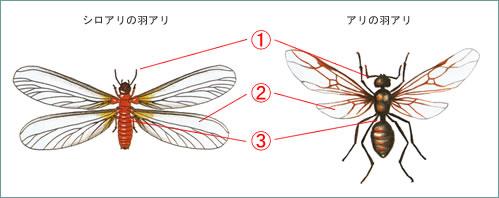 しろありの羽アリとアリの羽アリの違い